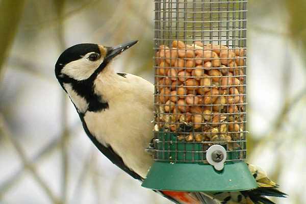Start Birding - Great spotted woodpecker female
