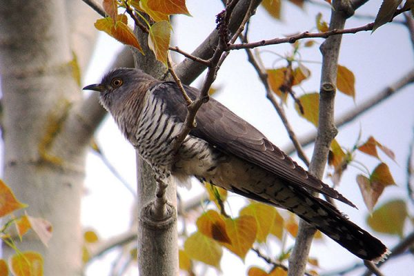 Start Birding - Cuckoo female
