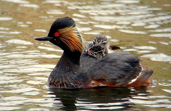 Black necked grebe greeting card