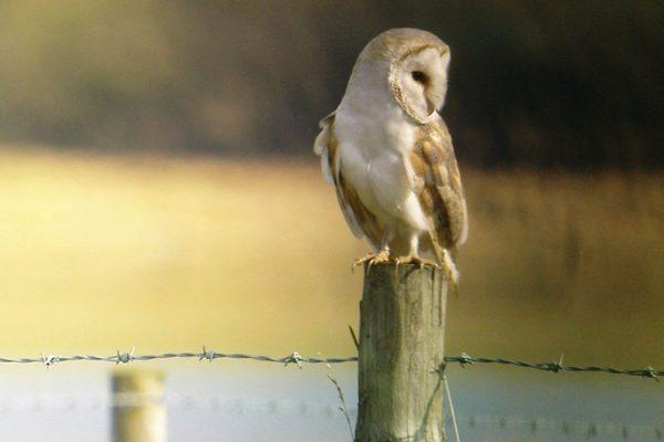 Start Birding - Barn owl
