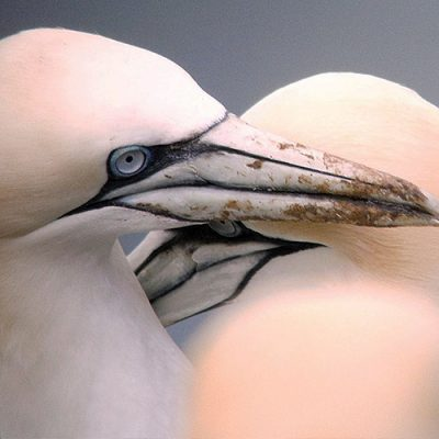 Start Birding - Gannet pair