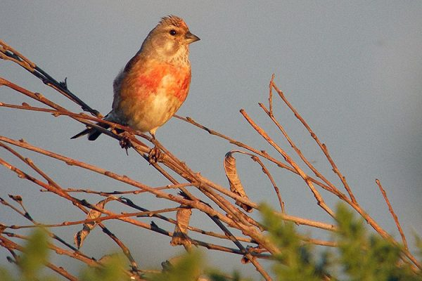 Start Birding - Linnet male