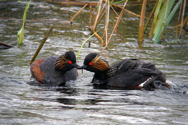 Start Birding Black necked grebe and chicks