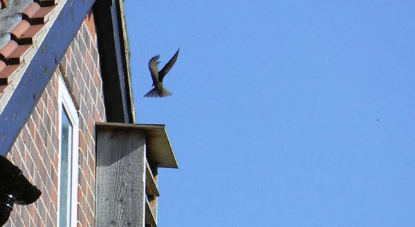 Start Birding Leeds Swifts