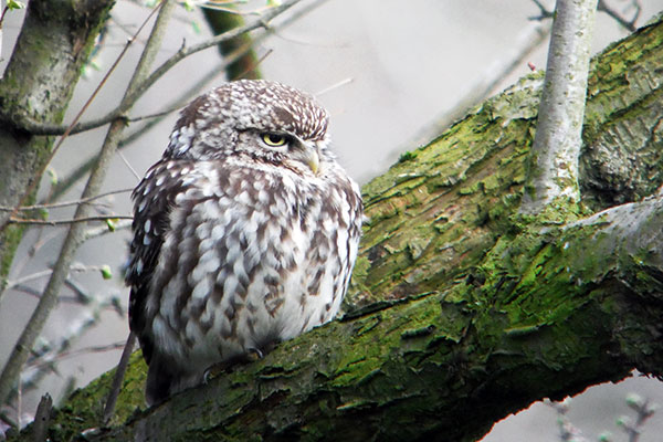 Start Birding Little owl, Rodley